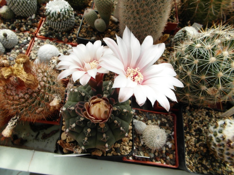 Cacti and Sukkulent in Köln, every day new flowers in the greenhouse Part 70 Bild_782