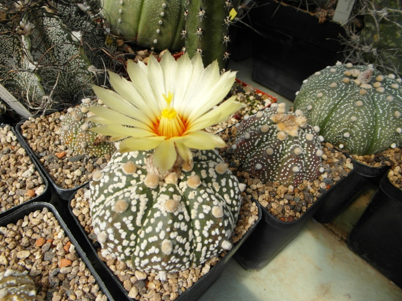Cacti and Sukkulent in Köln, every day new flowers in the greenhouse Part 70 Bild_785