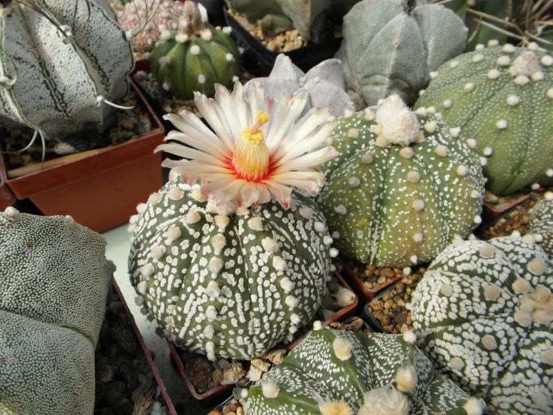 Cacti and Sukkulent in Köln, every day new flowers in the greenhouse Part 70 Bild_786