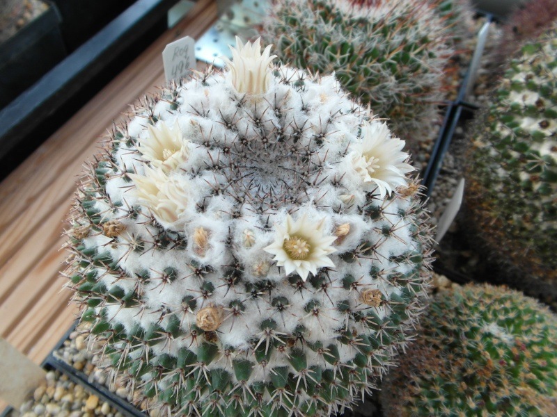 Cacti and Sukkulent in Köln, every day new flowers in the greenhouse Part 70 Bild_798