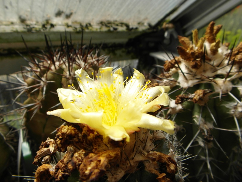 Cacti and Sukkulent in Köln, every day new flowers in the greenhouse Part 71 Bild_803