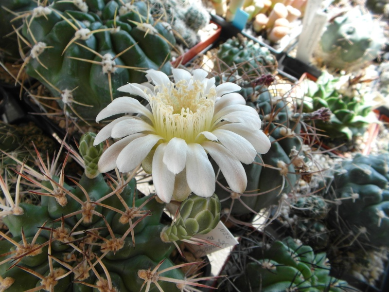 Cacti and Sukkulent in Köln, every day new flowers in the greenhouse Part 71 Bild_807