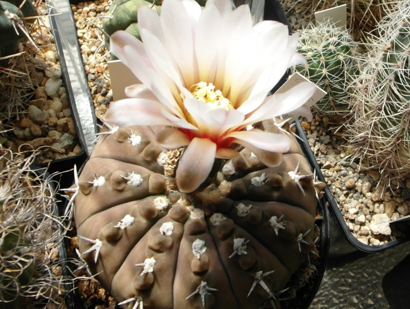 Cacti and Sukkulent in Köln, every day new flowers in the greenhouse Part 71 Bild_809