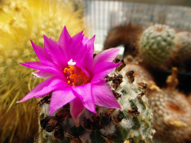 Cacti and Sukkulent in Köln, every day new flowers in the greenhouse Part 71 Bild_811