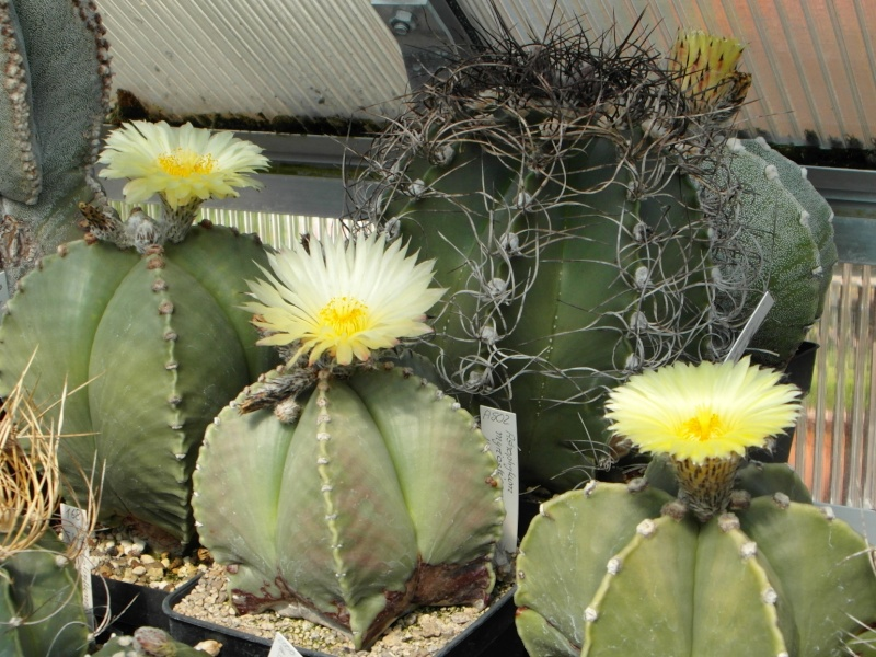 Cacti and Sukkulent in Köln, every day new flowers in the greenhouse Part 71 Bild_820