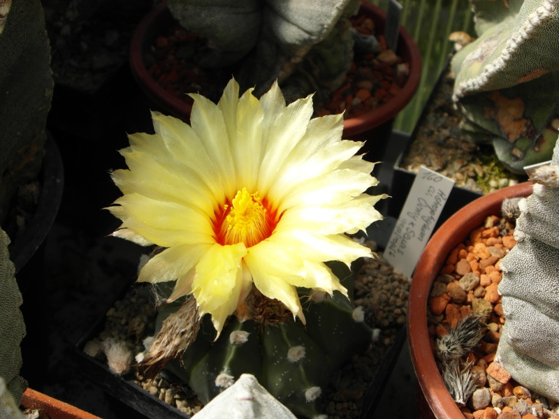 Cacti and Sukkulent in Köln, every day new flowers in the greenhouse Part 71 Bild_823