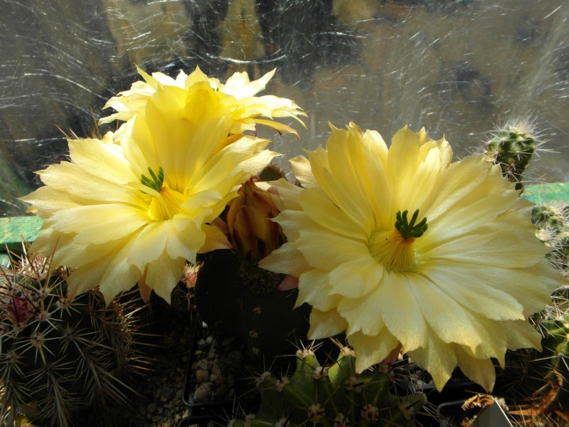 Cacti and Sukkulent in Köln, every day new flowers in the greenhouse Part 71 Bild_829