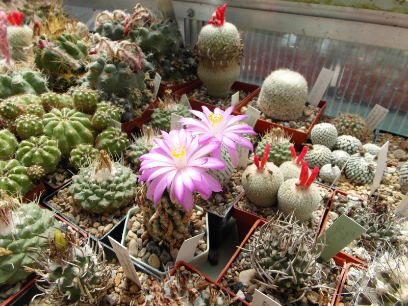 Cacti and Sukkulent in Köln, every day new flowers in the greenhouse Part 71 Bild_844