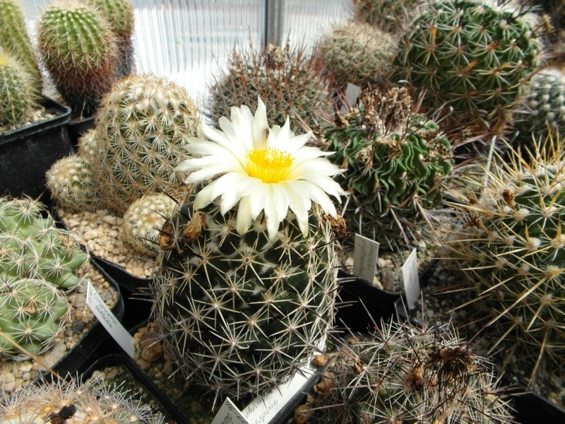 Cacti and Sukkulent in Köln, every day new flowers in the greenhouse Part 71 Bild_845