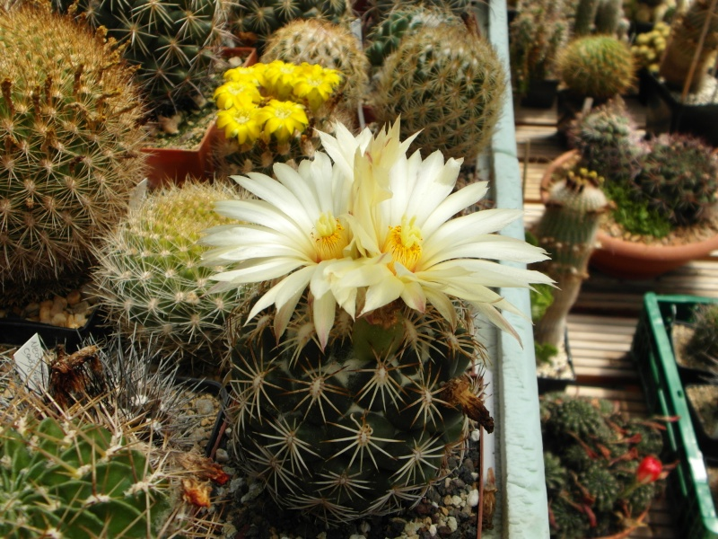 Cacti and Sukkulent in Köln, every day new flowers in the greenhouse Part 71 Bild_847