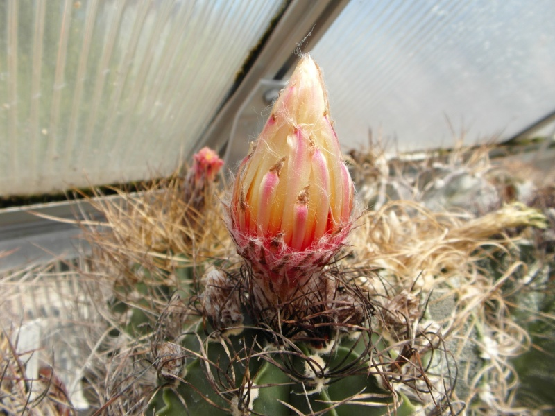Cacti and Sukkulent in Köln, every day new flowers in the greenhouse Part 71 Bild_855