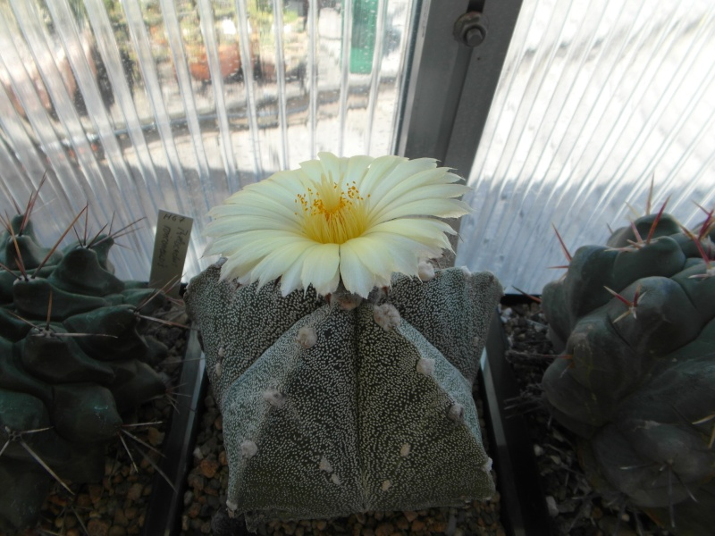 Cacti and Sukkulent in Köln, every day new flowers in the greenhouse Part 71 Bild_865