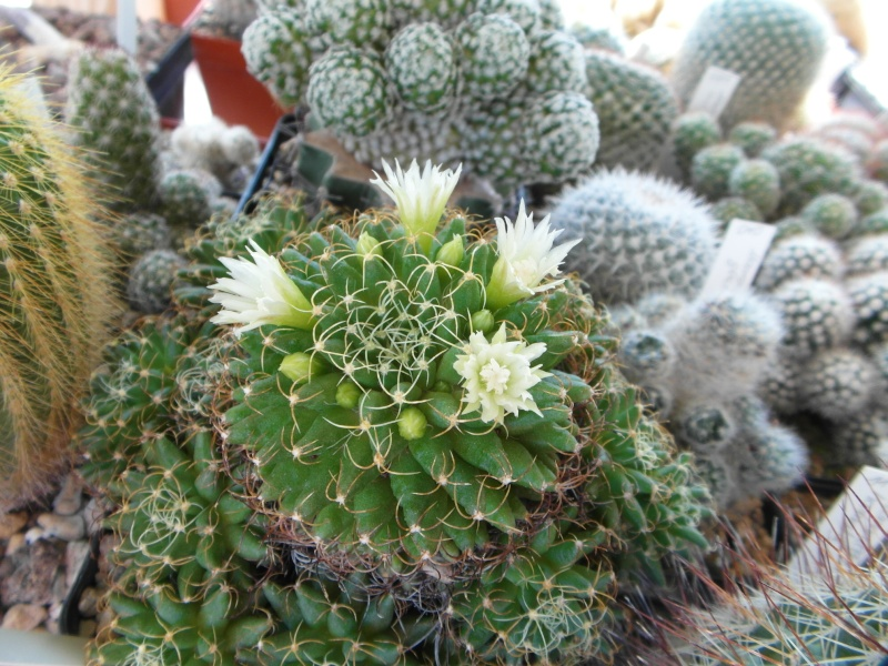 Cacti and Sukkulent in Köln, every day new flowers in the greenhouse Part 71 Bild_867