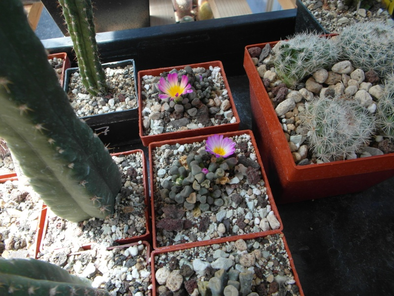 Cacti and Sukkulent in Köln, every day new flowers in the greenhouse Part 71 Bild_880