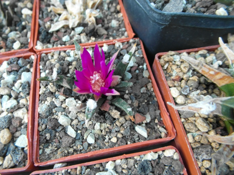 Cacti and Sukkulent in Köln, every day new flowers in the greenhouse Part 72 Bild_882