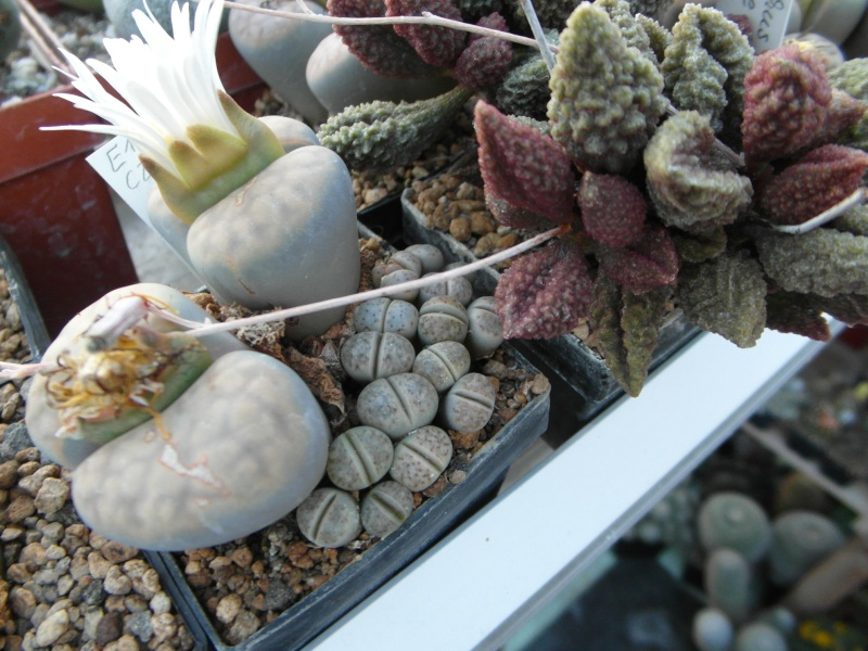 Cacti and Sukkulent in Köln, every day new flowers in the greenhouse Part 72 Bild_883