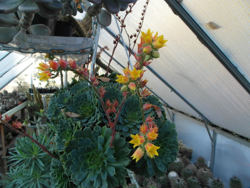 Cacti and Sukkulent in Köln, every day new flowers in the greenhouse Part 72 Bild_892