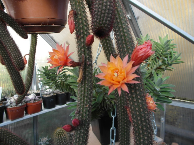Cacti and Sukkulent in Köln, every day new flowers in the greenhouse Part 72 Bild_893