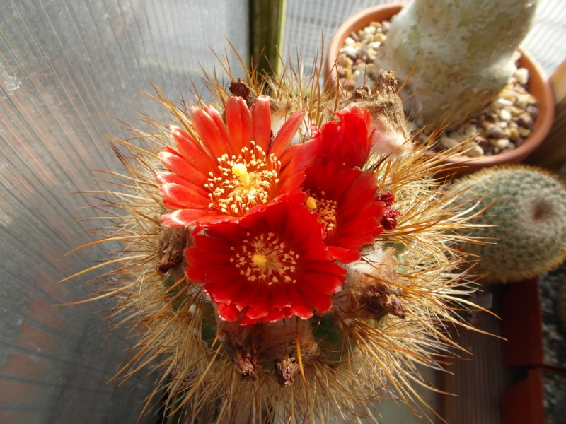 Cacti and Sukkulent in Köln, every day new flowers in the greenhouse Part 72 Bild_899