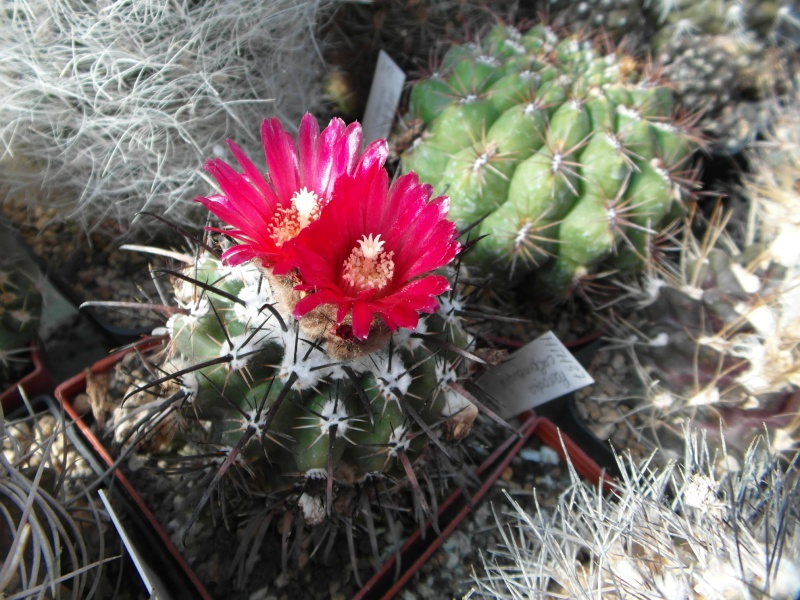 Cacti and Sukkulent in Köln, every day new flowers in the greenhouse Part 72 Bild_900