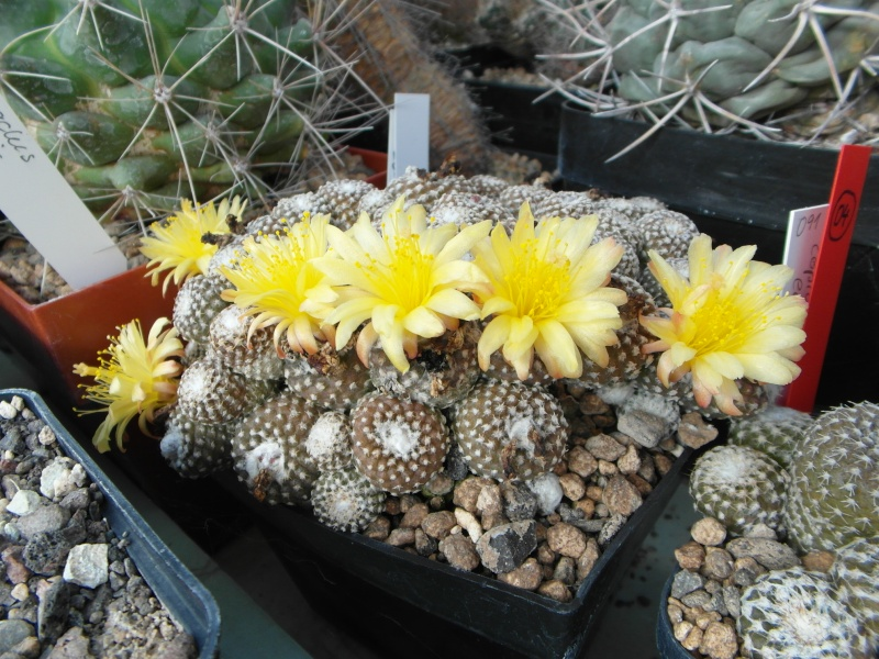 Cacti and Sukkulent in Köln, every day new flowers in the greenhouse Part 72 Bild_901