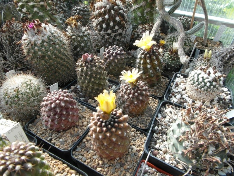 Cacti and Sukkulent in Köln, every day new flowers in the greenhouse Part 72 Bild_902