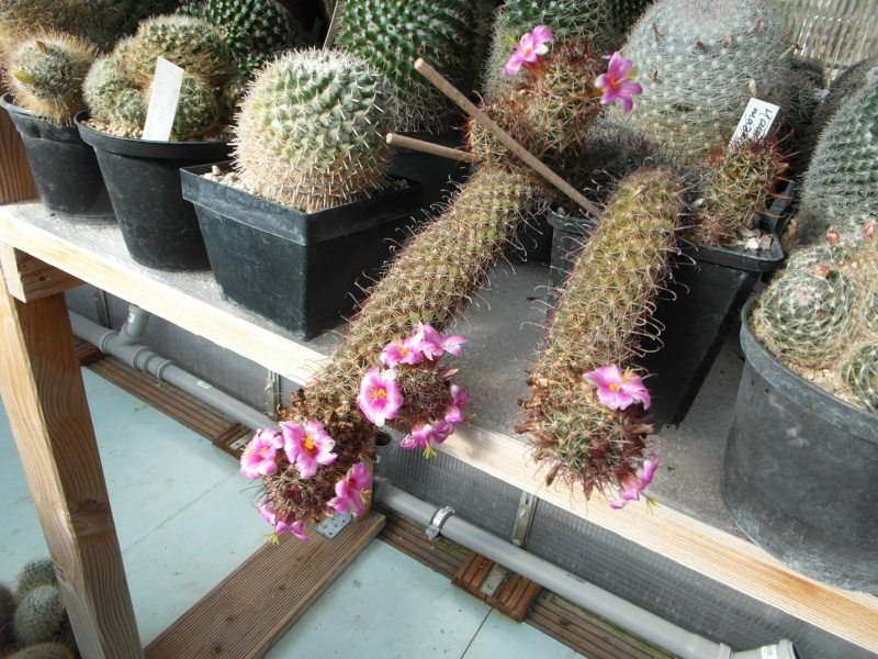 Cacti and Sukkulent in Köln, every day new flowers in the greenhouse Part 72 Bild_905