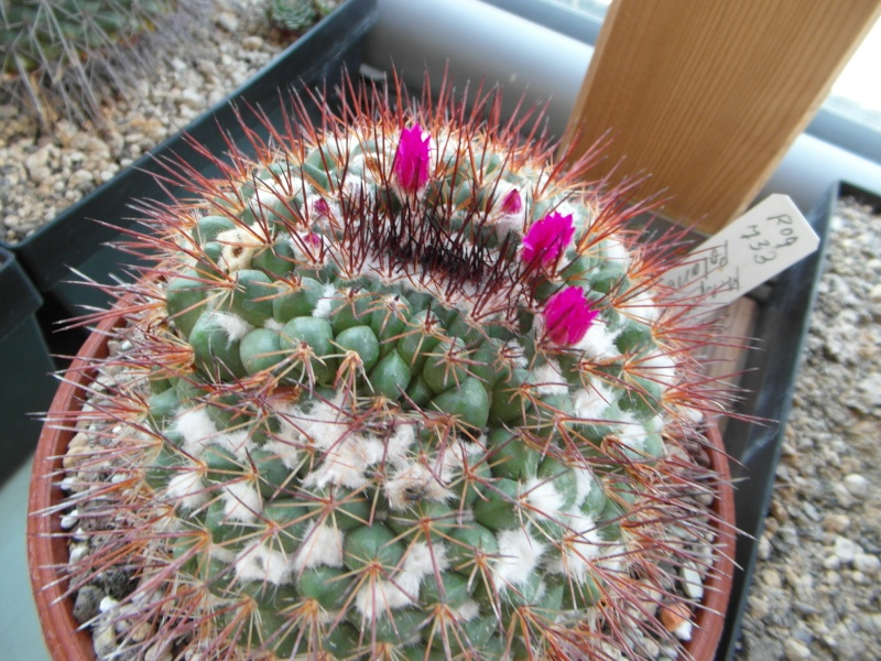 Cacti and Sukkulent in Köln, every day new flowers in the greenhouse Part 72 Bild_906