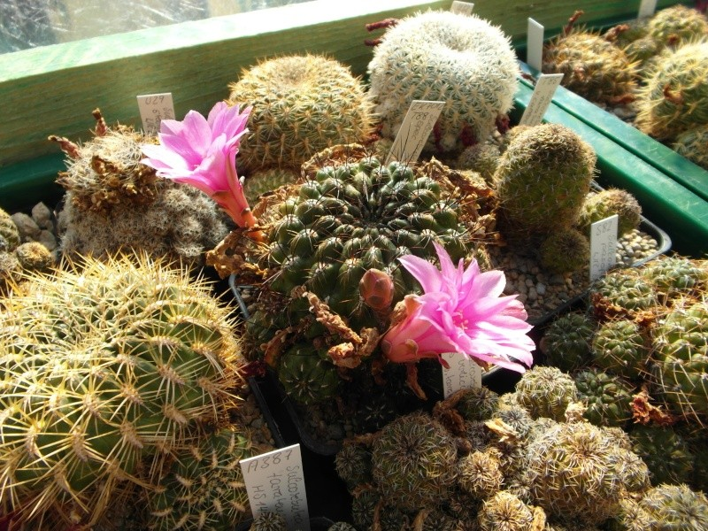 Cacti and Sukkulent in Köln, every day new flowers in the greenhouse Part 72 Bild_907