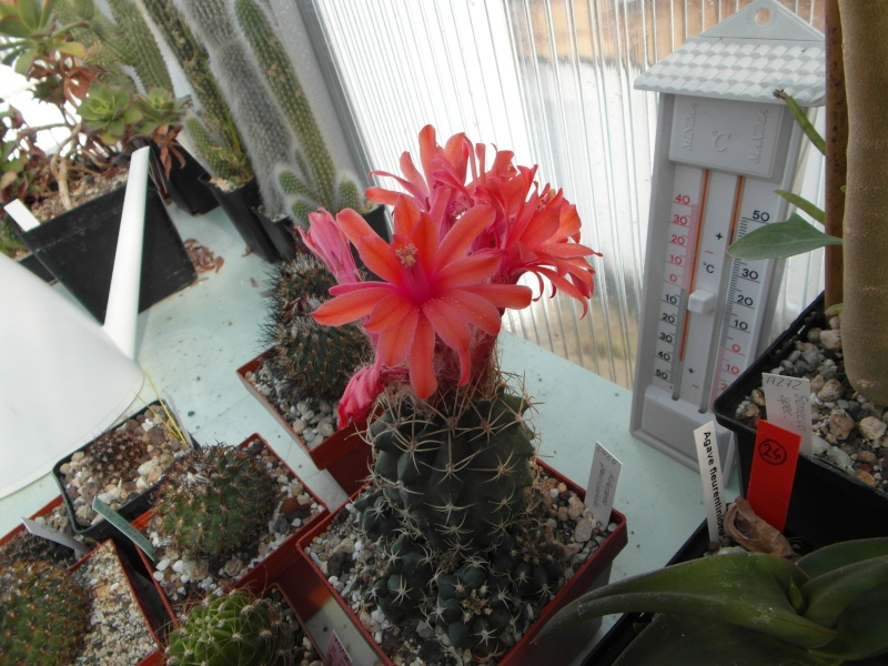 Cacti and Sukkulent in Köln, every day new flowers in the greenhouse Part 72 Bild_909
