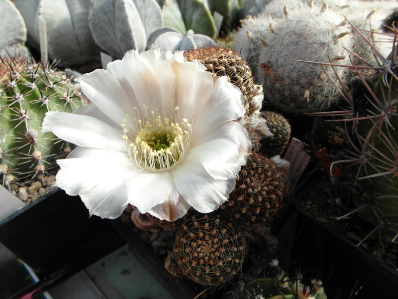 Cacti and Sukkulent in Köln, every day new flowers in the greenhouse Part 72 Bild_911