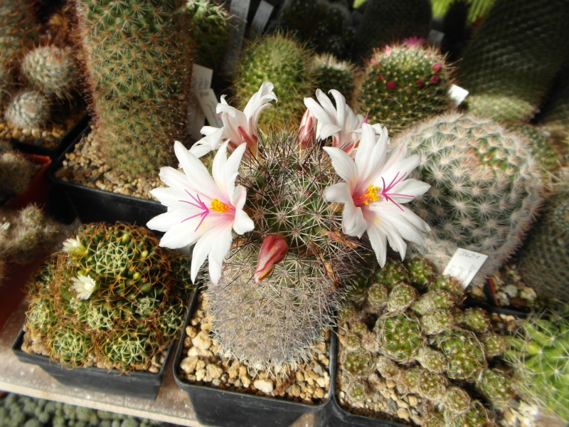 Cacti and Sukkulent in Köln, every day new flowers in the greenhouse Part 72 Bild_912