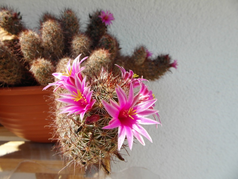 Cacti and Sukkulent in Köln, every day new flowers in the greenhouse Part 72 Bild_915