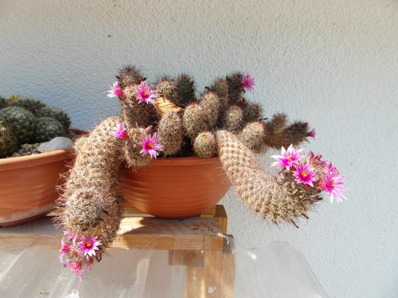 Cacti and Sukkulent in Köln, every day new flowers in the greenhouse Part 72 Bild_916
