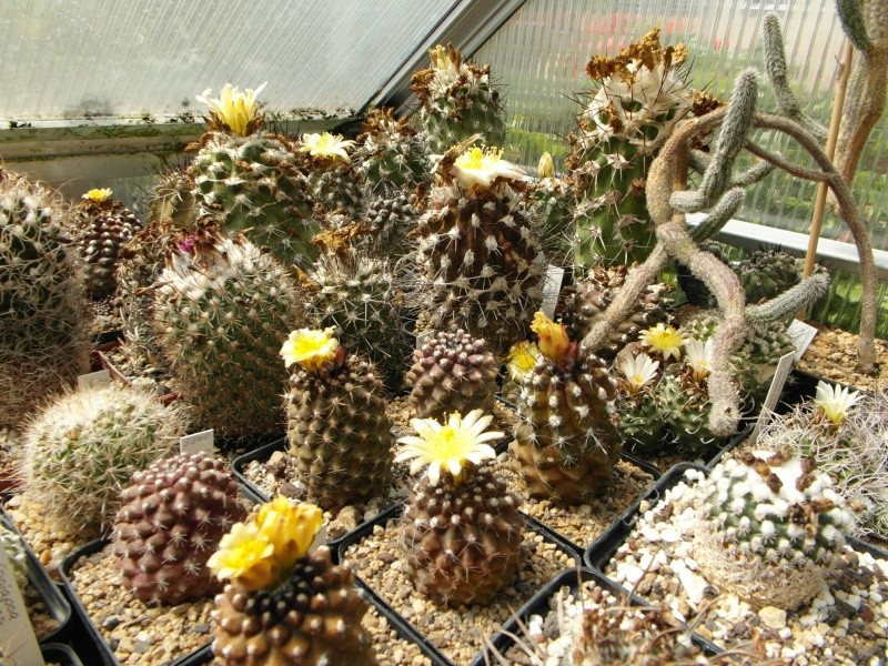 Cacti and Sukkulent in Köln, every day new flowers in the greenhouse Part 72 Bild_917