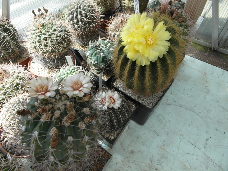 Cacti and Sukkulent in Köln, every day new flowers in the greenhouse Part 72 Bild_918