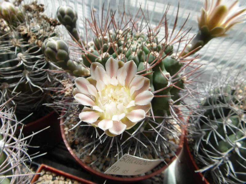 Cacti and Sukkulent in Köln, every day new flowers in the greenhouse Part 72 Bild_919