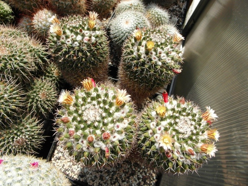 Cacti and Sukkulent in Köln, every day new flowers in the greenhouse Part 72 Bild_926