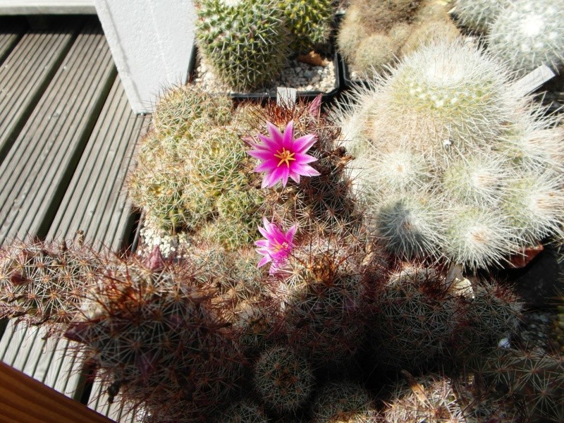 Cacti and Sukkulent in Köln, every day new flowers in the greenhouse Part 72 Bild_927