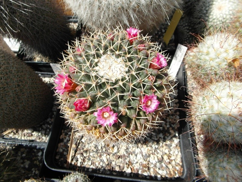 Cacti and Sukkulent in Köln, every day new flowers in the greenhouse Part 72 Bild_928