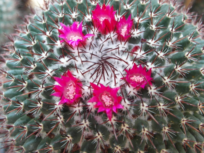 Cacti and Sukkulent in Köln, every day new flowers in the greenhouse Part 72 Bild_930
