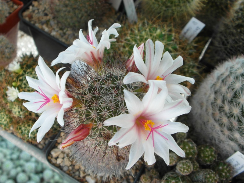 Cacti and Sukkulent in Köln, every day new flowers in the greenhouse Part 72 Bild_933