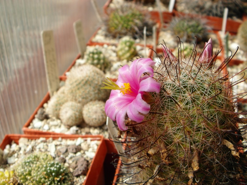Cacti and Sukkulent in Köln, every day new flowers in the greenhouse Part 72 Bild_934