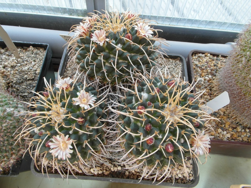 Cacti and Sukkulent in Köln, every day new flowers in the greenhouse Part 72 Bild_936