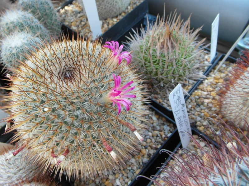 Cacti and Sukkulent in Köln, every day new flowers in the greenhouse Part 72 Bild_937
