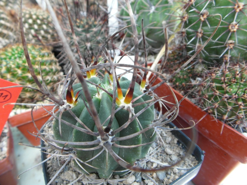 Cacti and Sukkulent in Köln, every day new flowers in the greenhouse Part 72 Bild_938