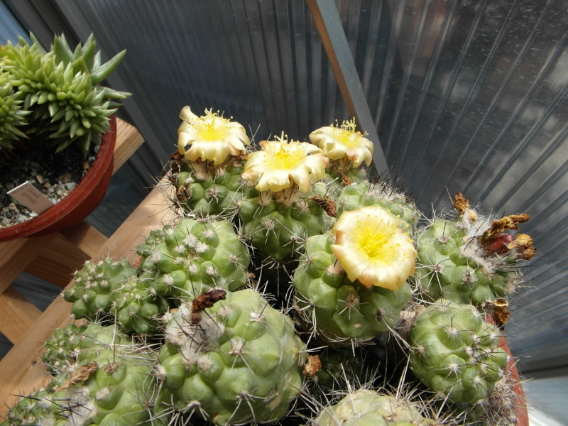 Cacti and Sukkulent in Köln, every day new flowers in the greenhouse Part 72 Bild_941
