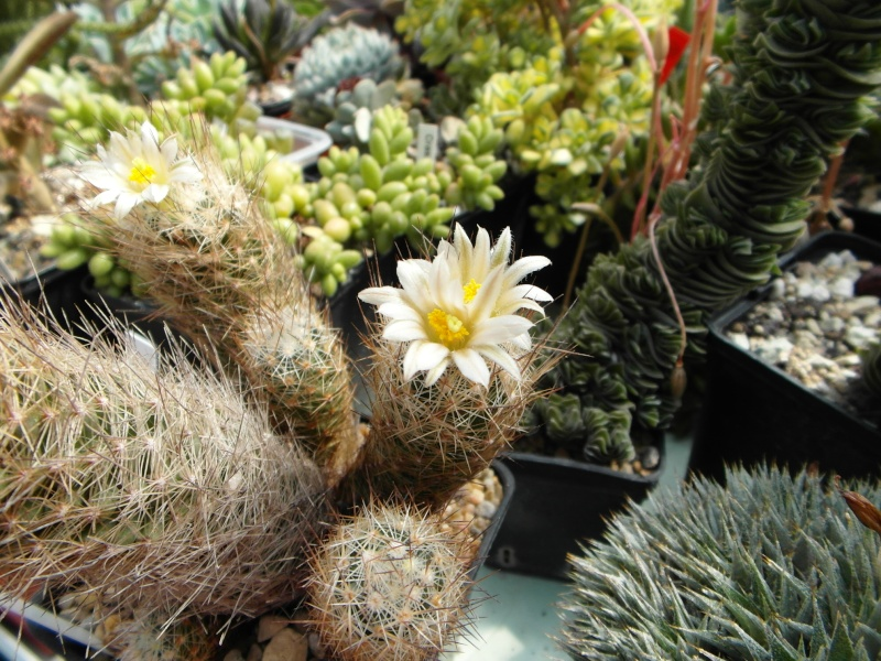 Cacti and Sukkulent in Köln, every day new flowers in the greenhouse Part 72 Bild_942