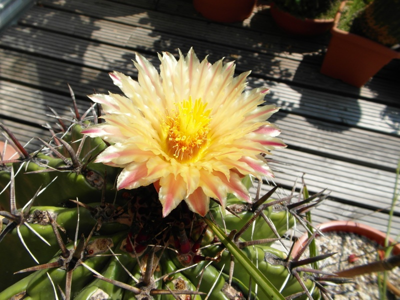 Cacti and Sukkulent in Köln, every day new flowers in the greenhouse Part 72 Bild_945