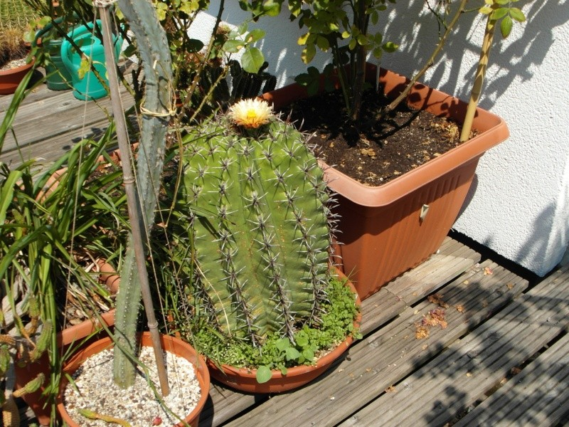 Cacti and Sukkulent in Köln, every day new flowers in the greenhouse Part 72 Bild_946
